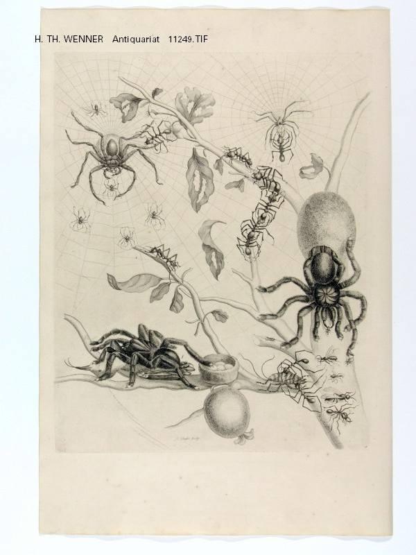 spinnen ameisen zweig guajave guave kupferstich pieter sluyter maria sibylla merian surinaamsche. Black Bedroom Furniture Sets. Home Design Ideas